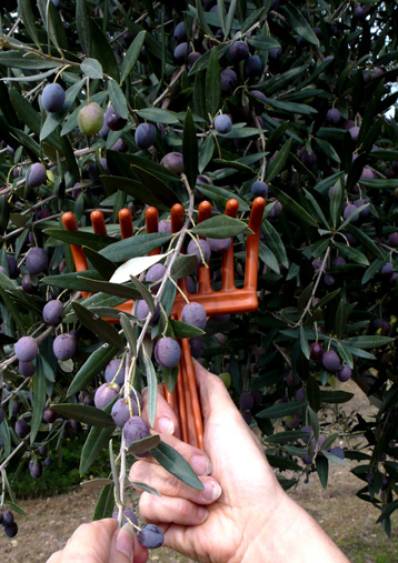 the slow work of harvesting olives