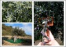images of olive trees blooming and harvest of olives