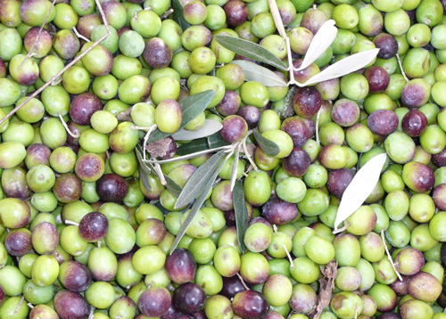 olives for olive oil are best harvested when turning from green to purple