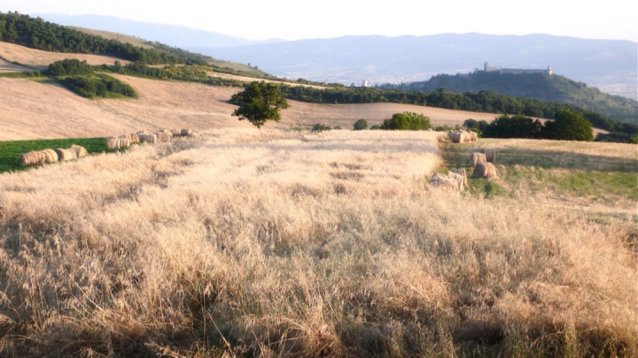 forage harvest near Assisi in Umbria