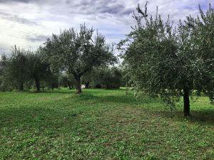 olive harvest in Umbria
