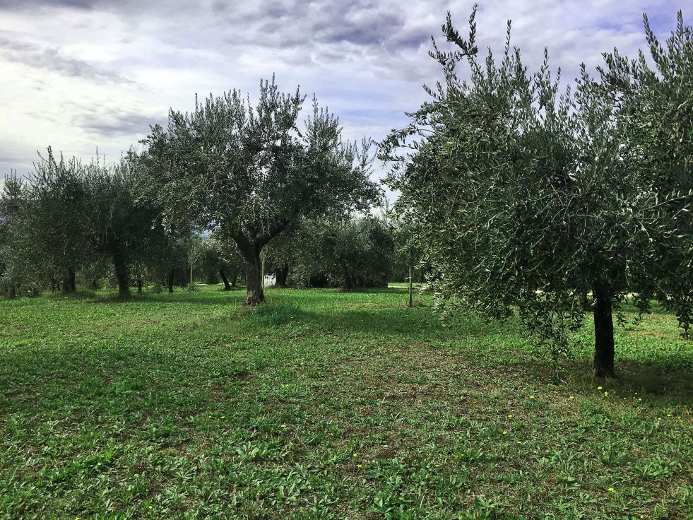 olive harvest in Umbria