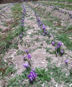 saffron blossom in Umbria