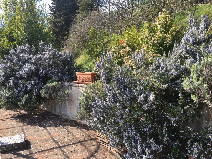 beautiful rosemary bushes in the terrace of Alla Madonna del Piatto Agriturismo in Assisi Italy