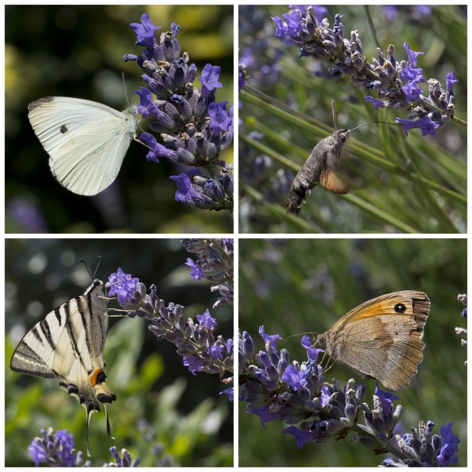 butterflies feeding on lavender
